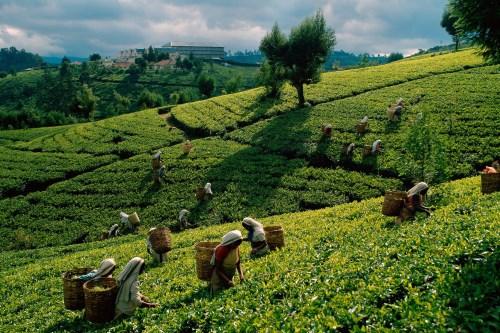 Плантация чая на Цейлоне