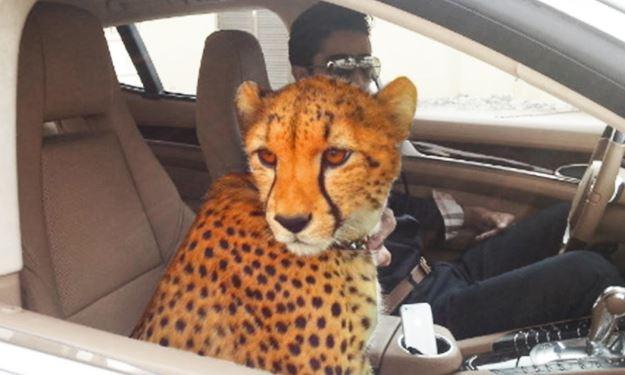 Домашние животные в Дубае - леопард