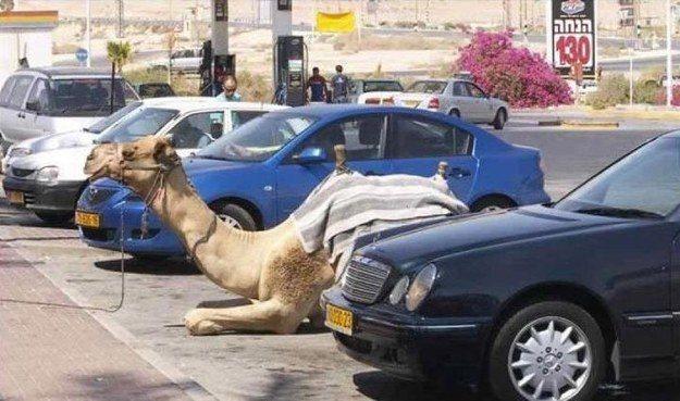 верблюд на парковке