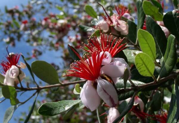 фото цветков фейхоа