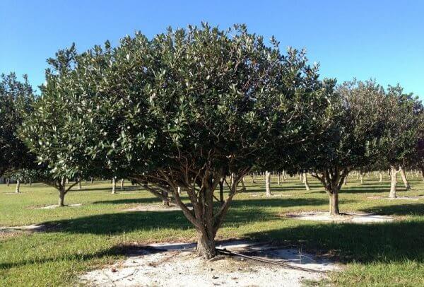 фото дерева фейхоа