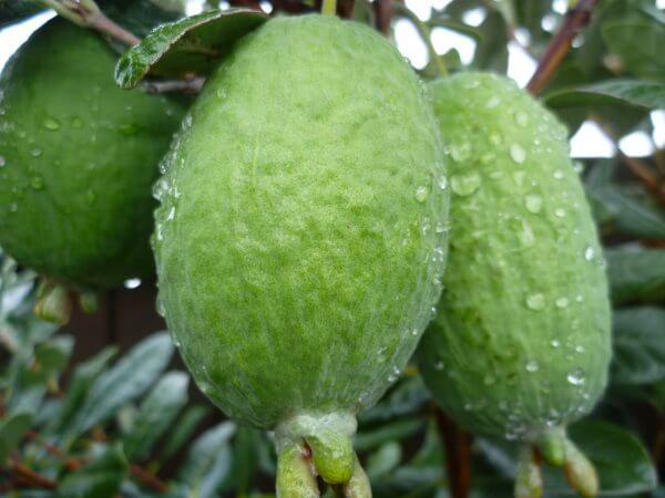 фото плодов фейхоа